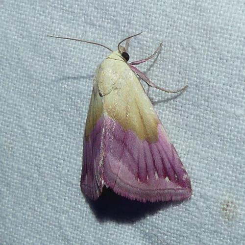 2020-05-21 Eublemma purpurina<br>Foto: Dr. Matthias Henker
