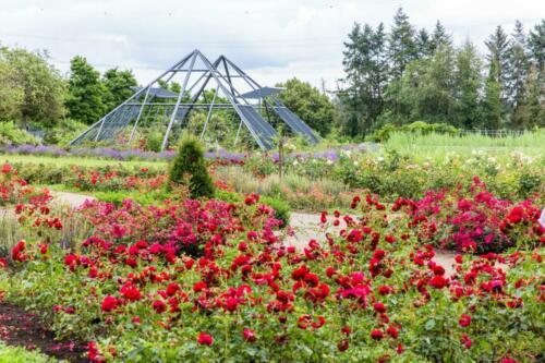 Das Rosarium mit neuer Pyramide in voller Rosenpracht